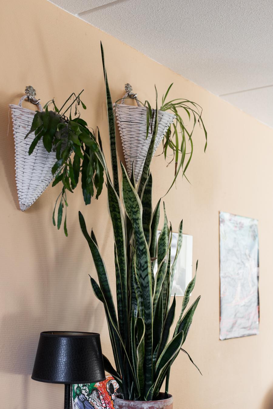 Zimmerpflanzen in hängenden Töpfen vor gelber Wand