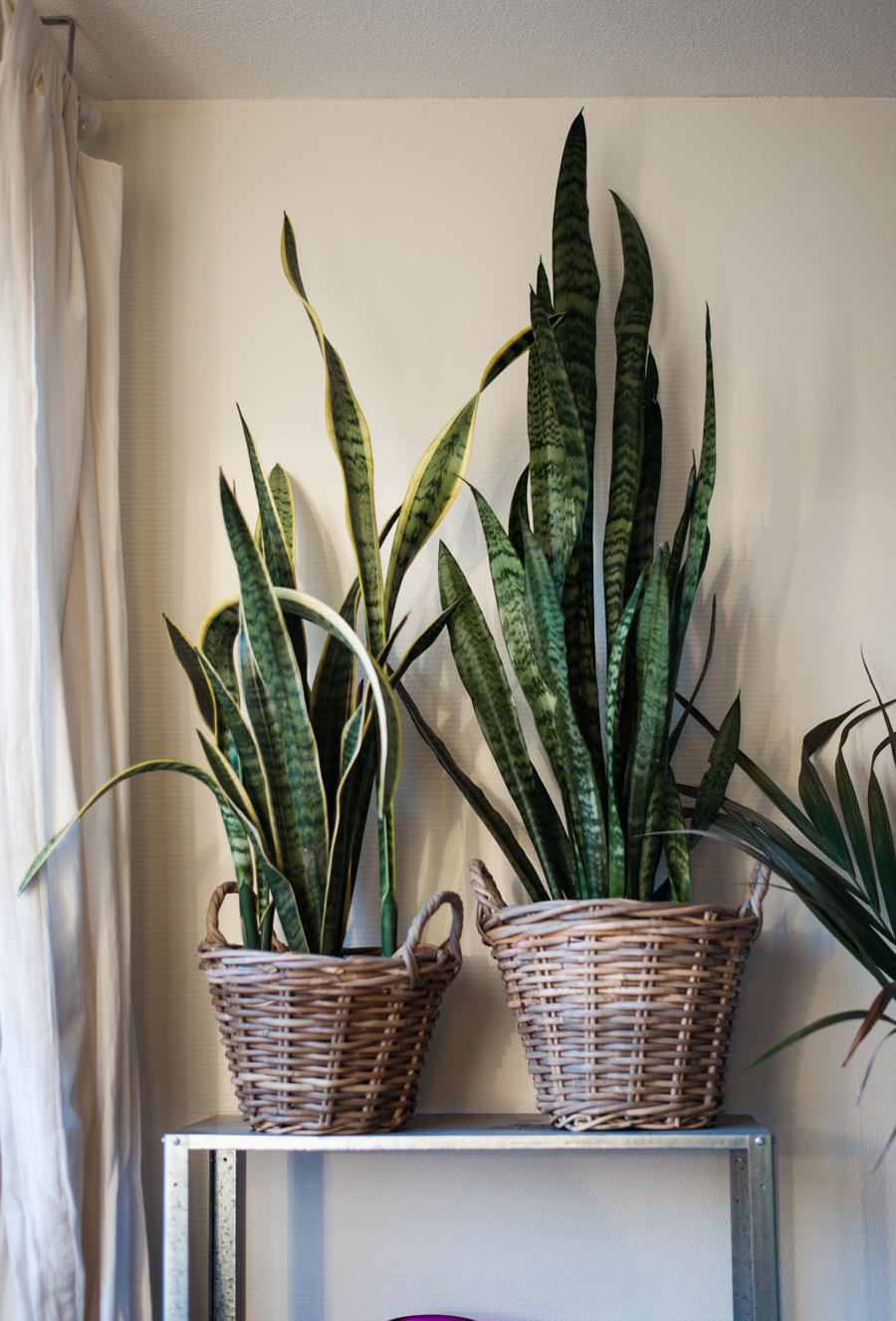 Zwei Zimmerpflanzen in Körben auf einem Regal