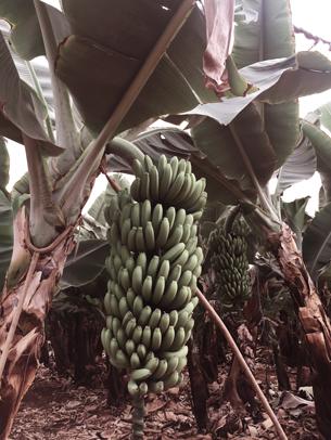 Bananen in einer Bananenplantage auf Teneriffa