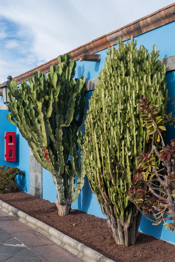 Büsche vor einer blauen Wand in Las Galletas