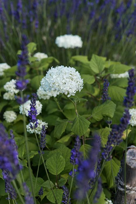 Lavendelbeet anlegen mit Lavendel Bauernhortensien Duftlavendel im Garten Gartenblog