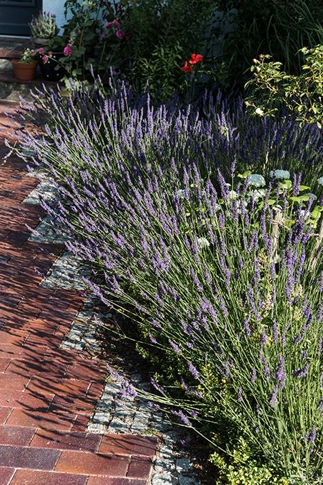 Lavendelbeet anlegen mit Lavendel Duftlavendel im Garten Gartenblog