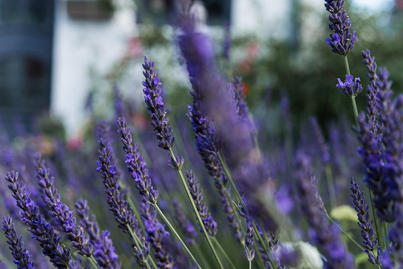 Lavendelbeet anlegen mit Lavendel und Duftlavendel im Garten Gartenblog
