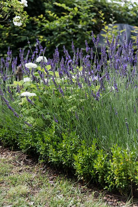 Lavendelbeet anlegen mit Lavendel Bauernhortensien Duftlavendel im Garten Gartenblog Buchsbaumhecke